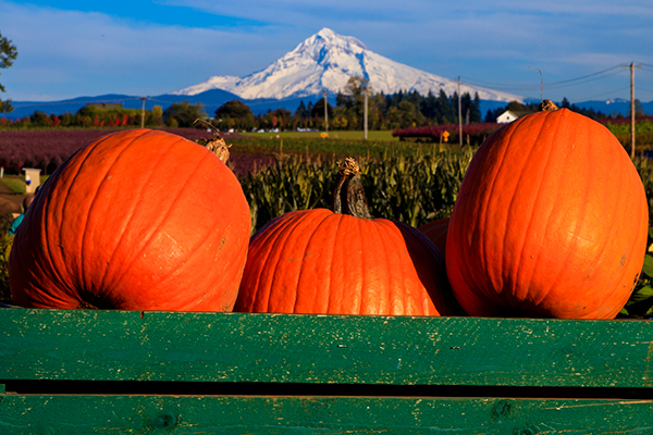 Pumpkins in a crate with Mt. Hood in the background