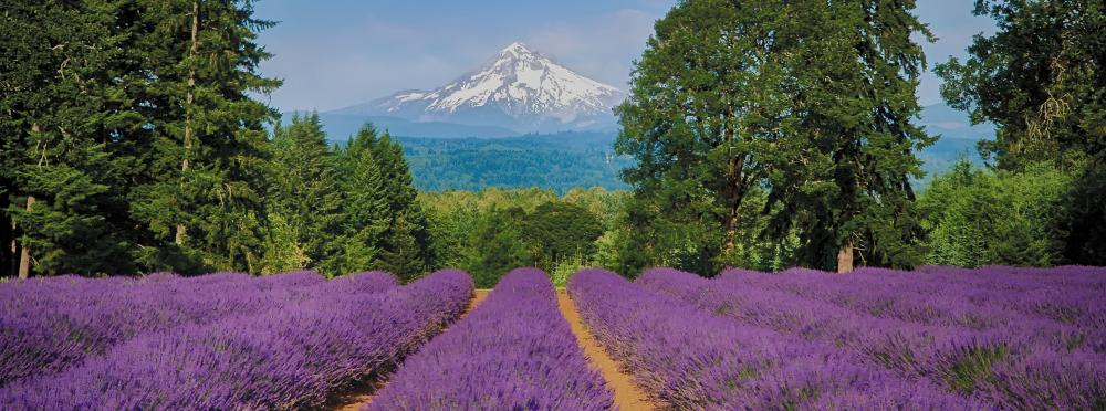 Mt Hood in front of a lavender field